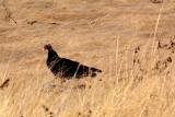 Sandhill Cranes, Ducks, Geese, Swans, Hawks & Other Wildlife of the Sacramento River Delta,