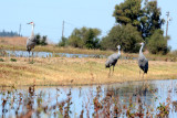 Sandhill Cranes, Ducks, Geese, Swans, Hawks & Other Wildlife of the Sacramento River Delta,