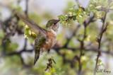 Humming bird-2.jpg