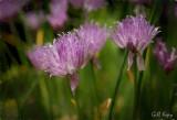 Chive flowers-3.jpg