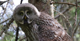 Great G. Owl