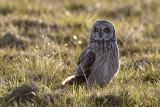 Short-eared Owl / Mosehornugle, CR6F5752, 23-03-17.jpg
