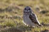 Short-eared Owl / Mosehornugle, CR6F5776, 23-03-17.jpg