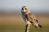 Short-eared Owl / Mosehornugle, CR6F5839, 23-03-17.jpg