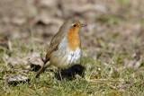 Robin / Rødhals, CR6F6160, 24-03-17.jpg