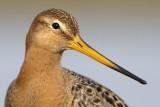 Black tailed Godwit / Stor kobbersneppe, 0V4E7513, 31-03-17.jpg