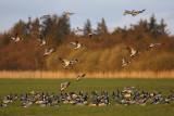 Barnacle Goose / Bramgås, 0V4E7797, 27-04-17.jpg