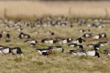 Red-breasted Goose / Rødhalset Gås, CR6F8119, 05-05-17.jpg