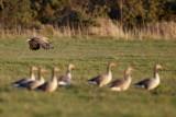 White-tailed Eagle / Havørn, CR6F7308, 04-05-17.jpg