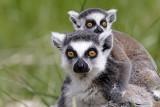 Lemur, 0V4E8191, 06-05-17.jpg