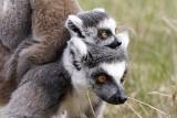 Lemur, 0V4E8207, 06-05-17.jpg
