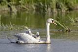 Mute Swan / Knopsvane, CR6F9992, 05-06-17.jpg