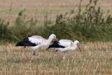 White Stork / Hvid stork, 1X8A6763, 16-09-17