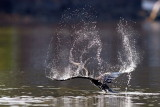 Darter /Indisk Slangehalsfugl, 1X8A9138, 22-11-17.jpg