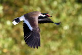 Red-wattled Lapwing / Indisk Vibe, 1X8A7857, 21-11-17.jpg