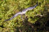 White-bellied Sea Eagle / Hvidbrystet Havørn, 1X8A7961, 21-11-17.jpg