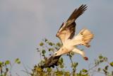 White-bellied Sea Eagle / Hvidbrystet Havørn, 1X8A8447, 21-11-17.jpg