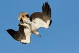 White-bellied Sea Eagle / Hvidbrystet Havørn, 1X8A9026, 22-11-17.jpg