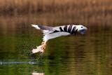 White-bellied Sea Eagle / Hvidbrystet Havørn, 1X8A9033, 22-11-17.jpg
