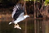 White-bellied Sea Eagle / Hvidbrystet Havørn, 1X8A9035, 22-11-17.jpg