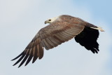 White-bellied Sea Eagle / Hvidbrystet Havørn, 1X8A9566, 22-11-17.jpg