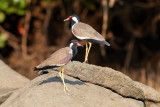 Red-wattled Lapwing / Indisk Vibe, 1X8A8985, 22-11-17.jpg