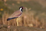 Red-wattled Lapwing / Indisk Vibe, 1X8A8990, 22-11-17.jpg