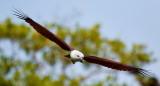 Brahminy Kite / Brahminglente, 1X8A7428, 20-11-17.jpg