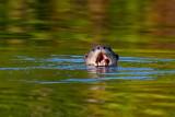 Odder / Otter, 1X8A8877, 22-11-17.jpg