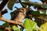 Spotted Owl / Plettet Natugle, 1X8A0136, 28-11-17.jpg
