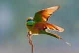 Green Bee-eater / Lille Grøn Biæder, 1X8A1268, 02-12-17.jpg