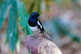 Oriental Magpie-Robin / Dayal, 1X8A1169, 01-12-17.jpg