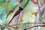 Asian Paradise Flycatcher / Asiatisk Paradismonark, 1X8A1083, 01-12-17.jpg
