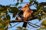 Eurasian Hoopoe / Hærfugl, 1X8A0836, 30-11-17.jpg
