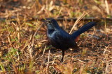Indian Robin / Hvidvinget Sortstjert, 1X8A0603, 30-11-17.jpg