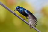 Purple Sunbird / Purpursolfug, 1X8A1940, 04-12-17.jpg