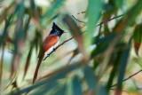 Asian Paradise Flycatcher / Asiatisk Paradismonark, 1X8A2413, 06-12-17.jpg