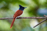 Asian Paradise Flycatcher / Asiatisk Paradismonark