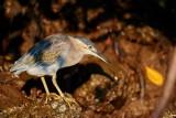 Striated Heron / Mangrovehejre, 1X8A7812, 21-11-17.jpg