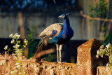 Indian Peafowl / Påfugl