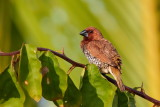Scaly-breasted Munia / Muskatfinke