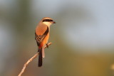 Long-tailed Shrike / Langhalet Tornskade