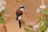Bay-backed Shrike / Brunrygget Tornskade