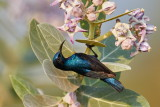 Purple Sunbird / Purpursolfugl