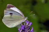 Kohlweißling im Lavendel