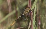 Flag-tailed Spinyleg 2.jpg