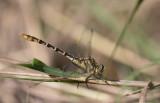 Flag-tailed Spinyleg 1.jpg