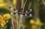 Twelve-spotted Skimmer.jpg
