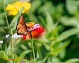 Queen Butterfly Wings