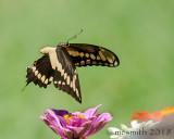 Flying Swallowtail Butterfly
